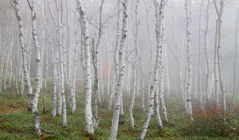 白樺林霧景