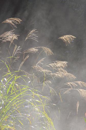 朝霧に光るススキ