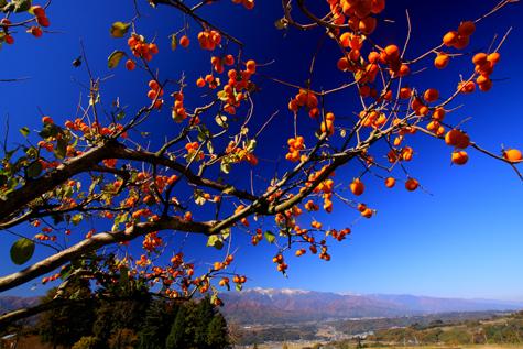 青空に映える赤い柿の実