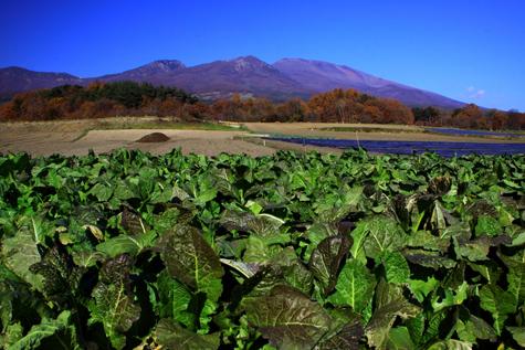 冬菜と浅間山