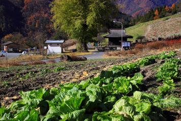 白菜畑と福徳寺