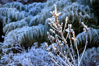 枯れ草に雪