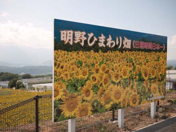 明野のヒマワリ 2013 04