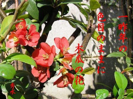 SD木瓜の花①