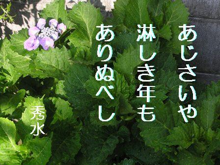 SD紫陽花②句入
