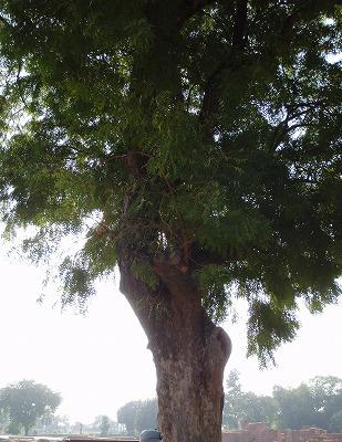 サルナート樹木