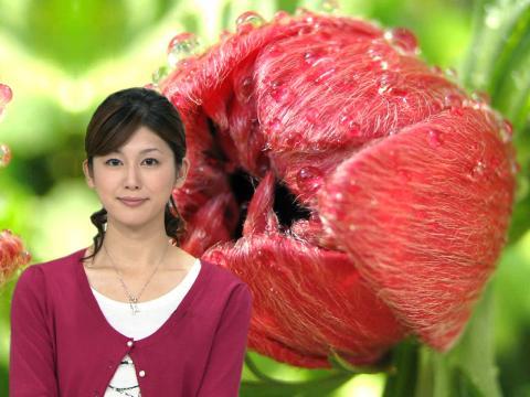 加藤真輝子 赤いアネモネ