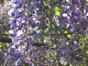 wistaria.jpg
