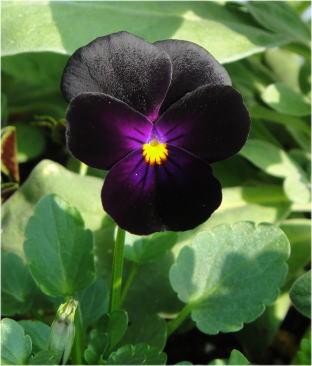 viola black opal