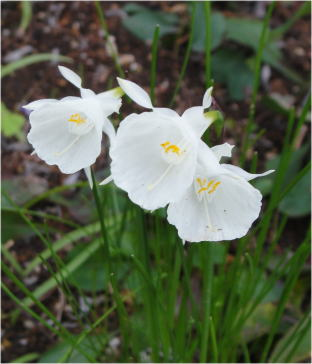Narcissus bulbocodium