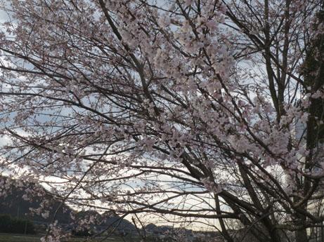 2013 3 23桜2