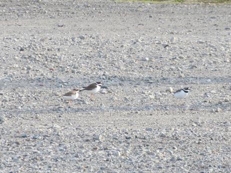 2013 3 24走り回る小鳥