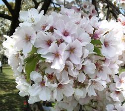 100310 桜