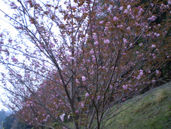 2011-4-15桜