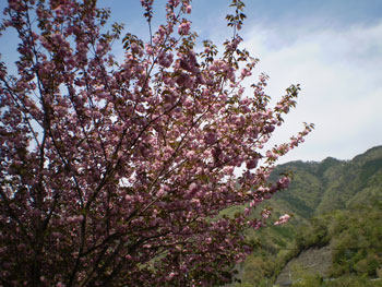 2011_0421_桜 3