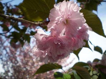 2011_0421_桜 2