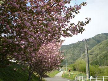 2011_0421_桜1