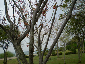 2011_0425桜 A