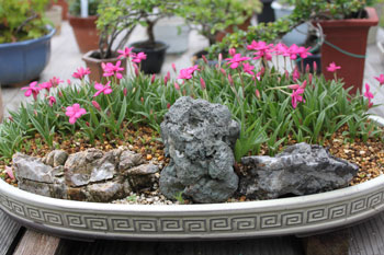 2011_0509_盆栽アッツ桜