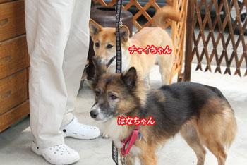 2011_0604はなちゃんチャイち