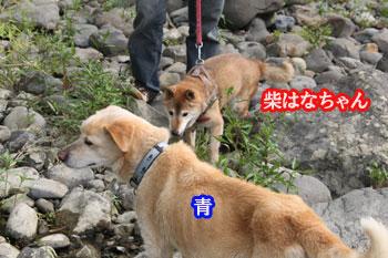2011_0604_柴はなちゃん・青