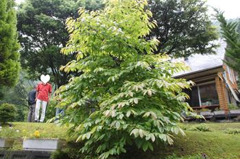 2011_0605_スズランの木?