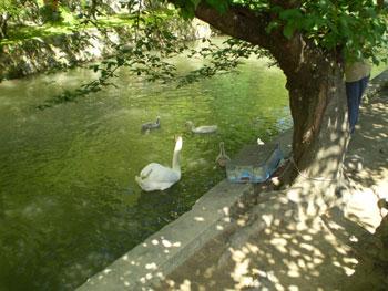 2011_0709_親子の白鳥