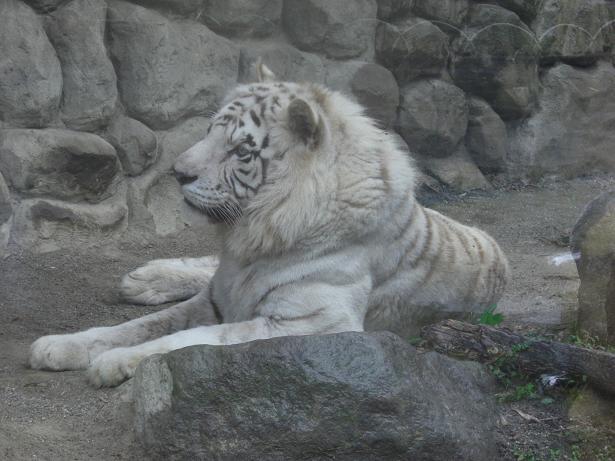 100523-23ホワイトタイガー2