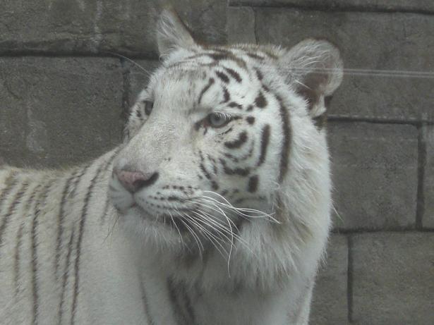 100523-23ホワイトタイガー5