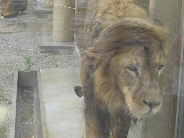 100523-24ライオン1