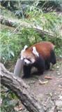 レッサ―パンダ