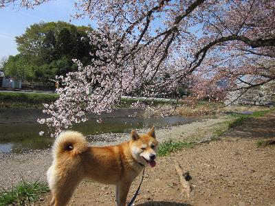 2011葉桜5