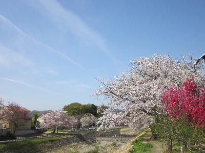 2011葉桜4