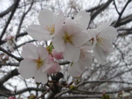 2011,3,21 寒そうに咲いてた