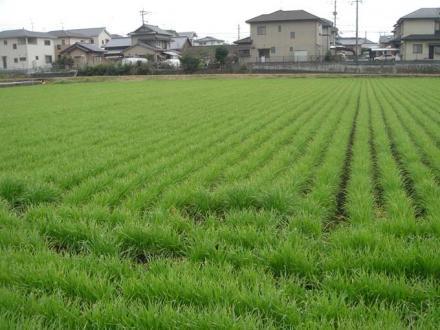 2011,3,21 麦畑