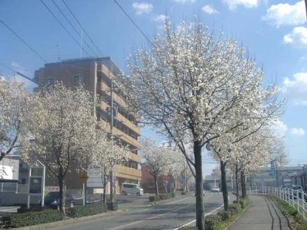 2011,3,25 コブシの街路樹