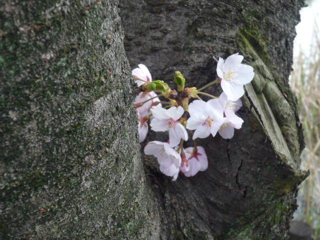 桜(少数)