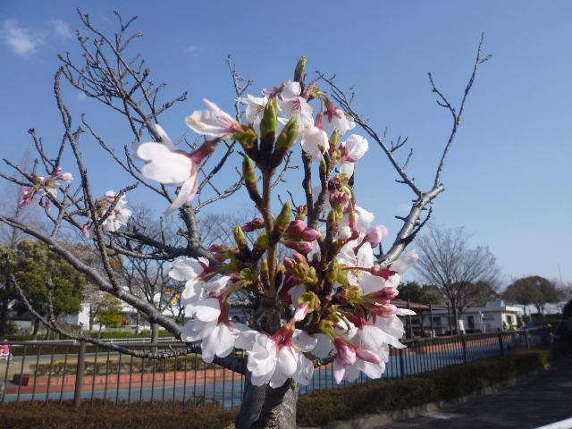 桜(+青空)