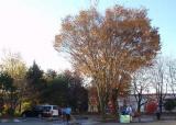 今年も落ち葉掃除が