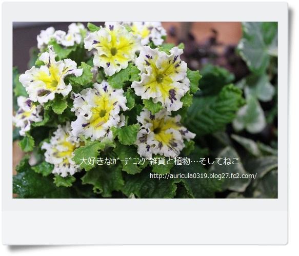 プリムラ・スパークリーブル―なんちゃって寄せ植え2