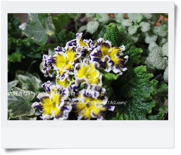 プリムラ・スパークリーブル―なんちゃって寄せ植え