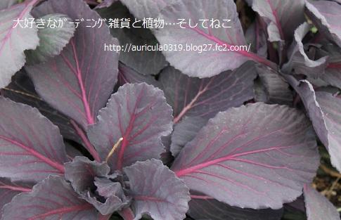紫キャベツ2013
