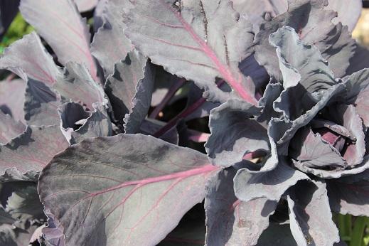 紫キャベツ2