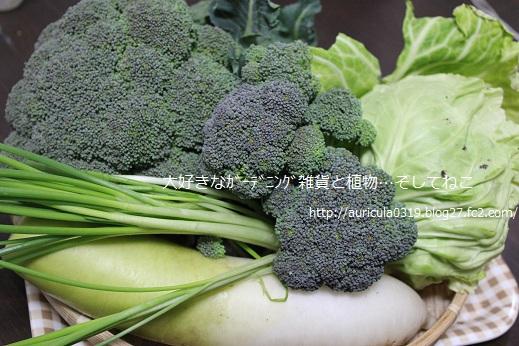 冬野菜の収穫(大根・ブロッコリーなど)