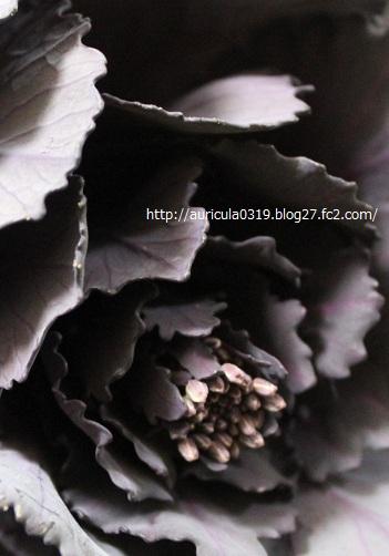 紫キャベツ(花)2
