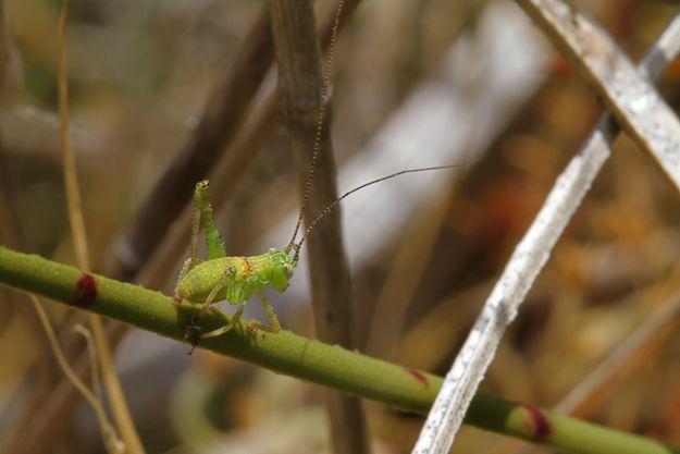 11:4キリギリス幼虫