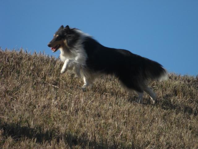 山岳救助犬?