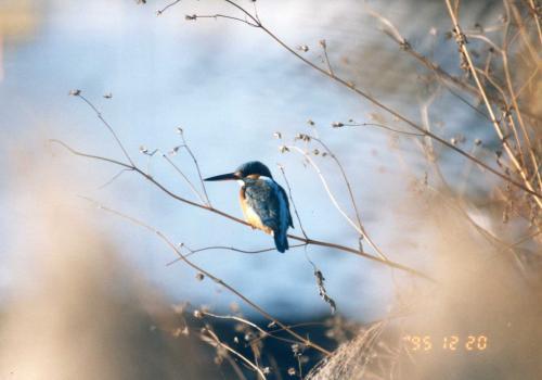 kingfisher_convert_20111030010109.jpg
