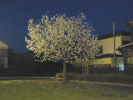 夜桜???