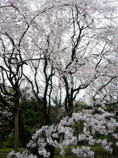 ブログ 江戸彼岸桜
